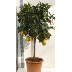 LIMONE CITRUS MEYERI - pianta generica