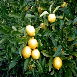 LIMONE CITRUS LIMON - pianta generica