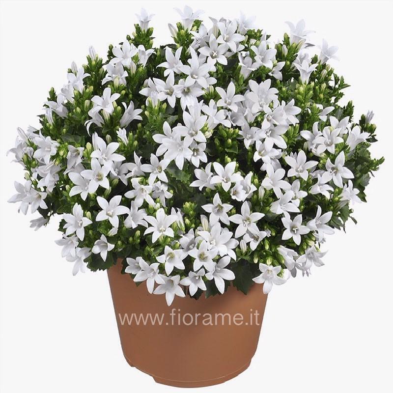 BELLFLOWER PORTENSCHLANGIANA - plant generic