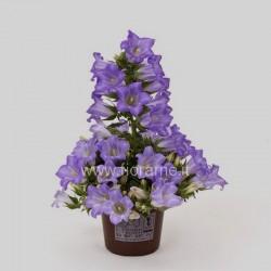 CAMPANULA FORMANEKIANA - plant generic