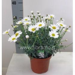 Flowering argyranthemum FRUTESCENS - plant generic