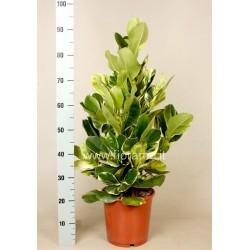 CLUSIA ROSEA WHITE STAR - pianta generica