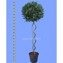 LAUREL LAURUS NOBILIS - plant generic