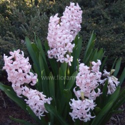 GIACINTO HYACINTHUS ORIENTALIS - pianta generica