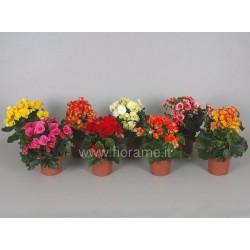BEGONIA ELATIOR - plant generic