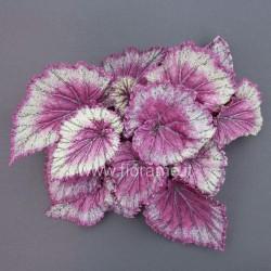 BEGONIA REX - plant generic