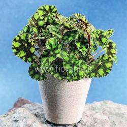 BEGONIA BOWERI - pianta generica