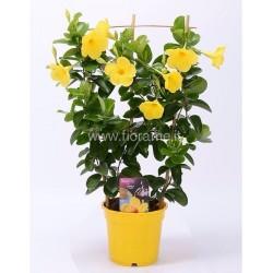 DIPLADENIA MANDEVILLA SUNDAVILLA - plant generic