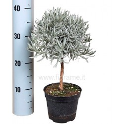 LAVANDA LAVANDULA ANGUSTIFOLIA - pianta generica