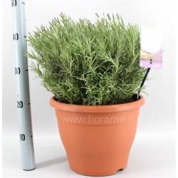LAVENDER LAVANDULA STOECHAS - plant generic