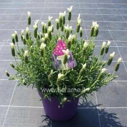 LAVANDA LAVANDULA STOECHAS - pianta generica
