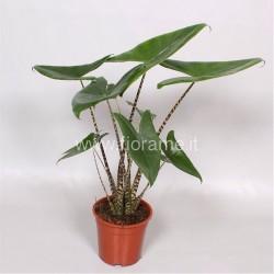 ALOCASIA ZEBRINA - pianta generica