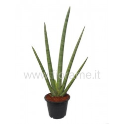 SANSEVIERIA CYLINDRICA HAND.- plant generic
