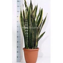 SANSEVIERIA TRIFASC.LAU.-plant generic