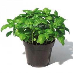 BASIL OCIMUM BASILICUM - plant generic