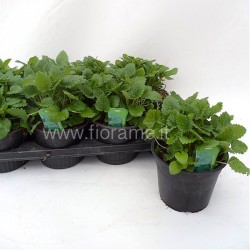 MELISSA OFFICINALIS - pianta generica