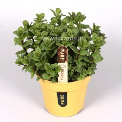 MENTHA PIPERITA - plant generic