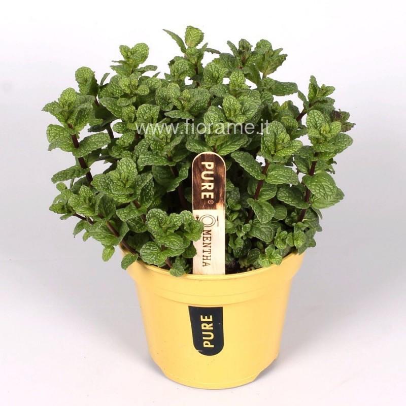 MENTHA PIPERITA - pianta generica