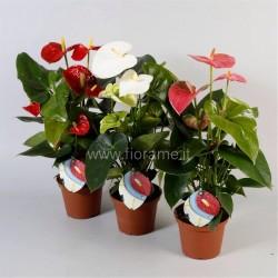 ANTHURIUM (Andreanum) (plant-generic)