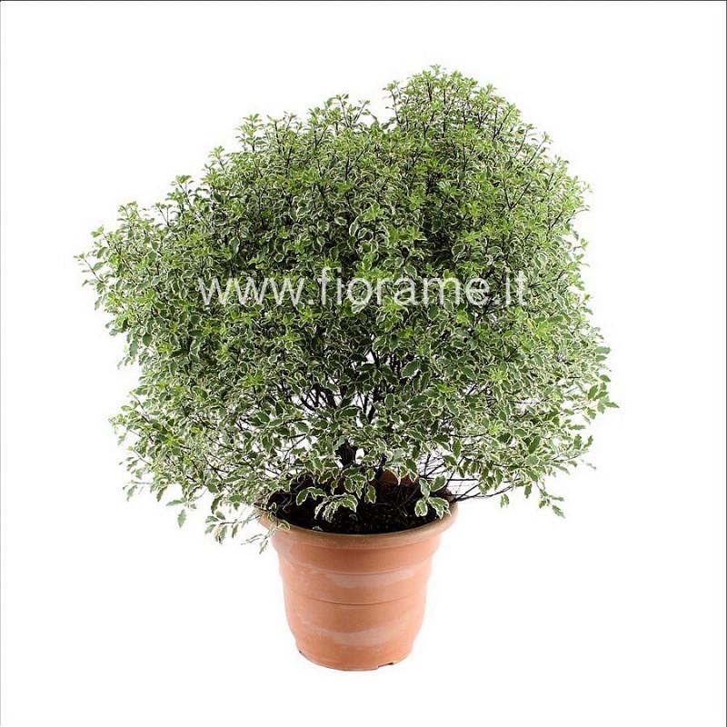 PITTOSPORUM TENUIF. SILVER Q.-pianta generica