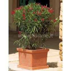 OLEANDRO-pianta generica