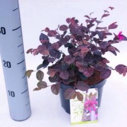 LOROPETALUM-pianta generica