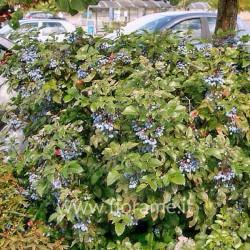 MAHONIA AQUIFOLIUM-plant generic
