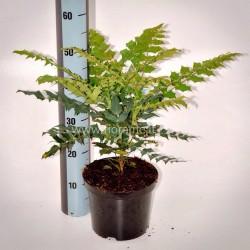 MAHONIA JAPONICA-pianta generica