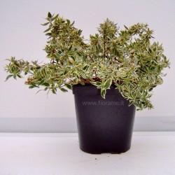 ABELIA-pianta generica