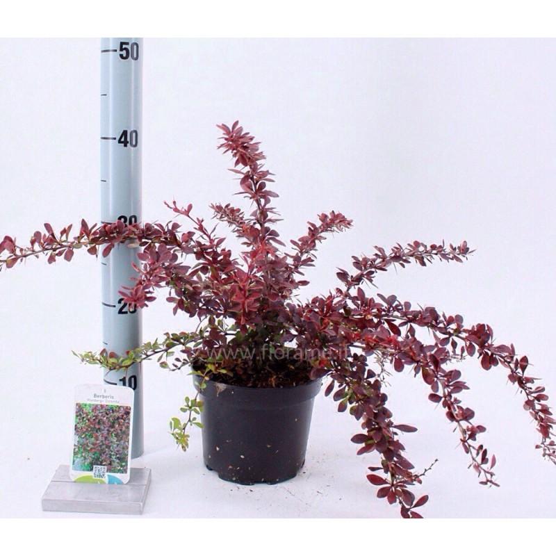 BERBERIS THUNB. ANTROPURPUREA-plant generic