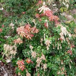 PIERIS JAPONICA - pianta generica