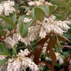 LEUCOTHOE - plant generic