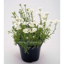 IBERIS SEMPERVIRENS-plant generic