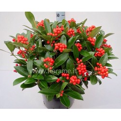 SKIMMIA JAPONICA RED BERRY-plant generic