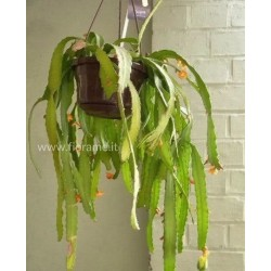 RHIPSALIS MONOCANTHA - pianta generica