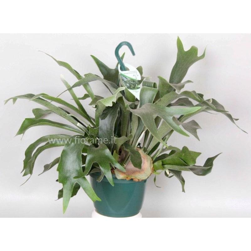 PLATYCERIUM BIFURC.-plant generic