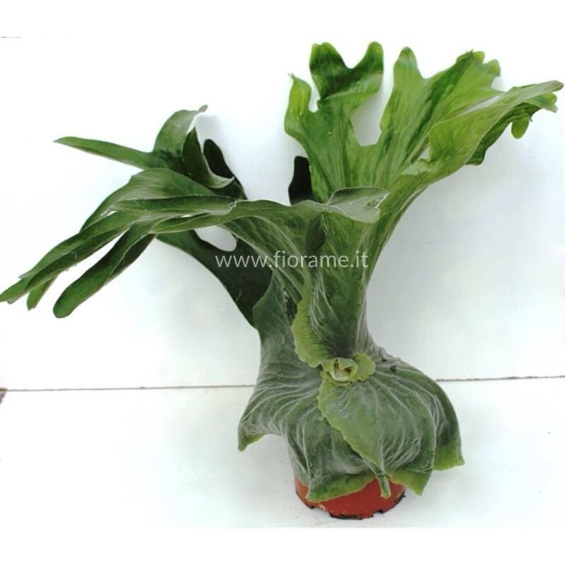PLATYCERIUM SUPERBUM - plant generic