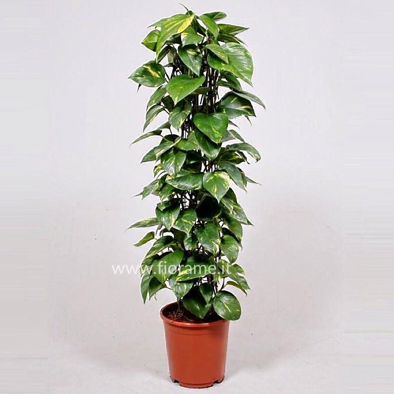 EPIPREMNUM PINNATUM AUREUM - pianta generica