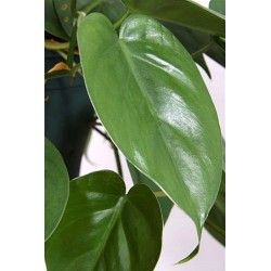 PHILODENDRON SCAND.hanging plant generic