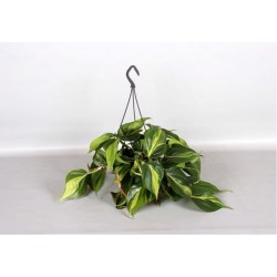 PHILODENDRON CELASTRUS BRASIL hanging plant generic