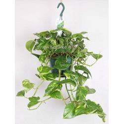 EPIPREMNUM PINNATUM AUREUM hanging plant generic