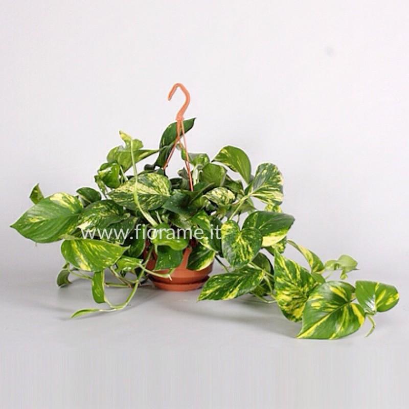 EPIPREMNUM PINNATUM AUREUM ricadente-pianta generica