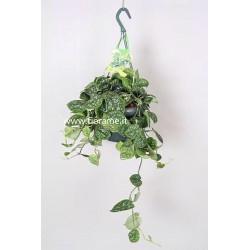 SCINDAPSUS PICTUS ARGYRAEUS-plant generic