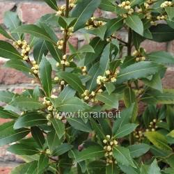 ALLORO LAURUS NOBILIS - pianta generica