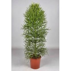 EUPHORBIA TIRUCALLI - plant generic