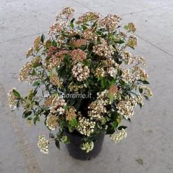 VIBURNUM TINUS-plant generic
