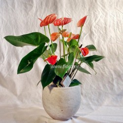 ANTHURIUM MADURAL F7/H60 VASO COTTO-pianta