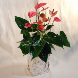 ANTHURIUM PINK H50-60 CUBE BIRCH-plant