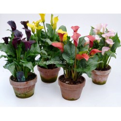 ZANTEDESCHIA CALLA lily-plant generic