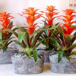 GUZMANIA FIERO ORANGE VASO COTTO-pianta